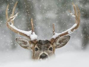 Pictures of Santa's Reindeer 2